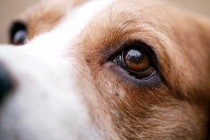 How Much Does Dog Cataract Surgery Cost