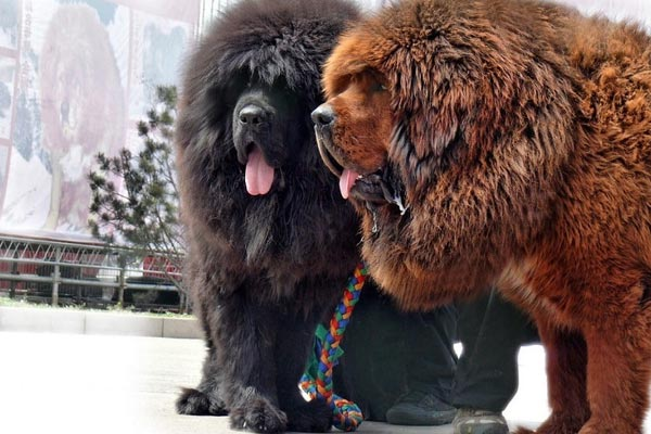Tibetan Mastiff Temperament