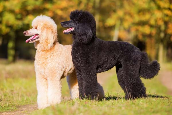 best dog breed for seniors