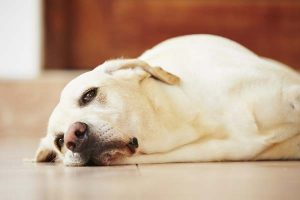 how to heal dog prolapse at home